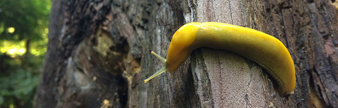 Banana Slug crawling on the red wood tree